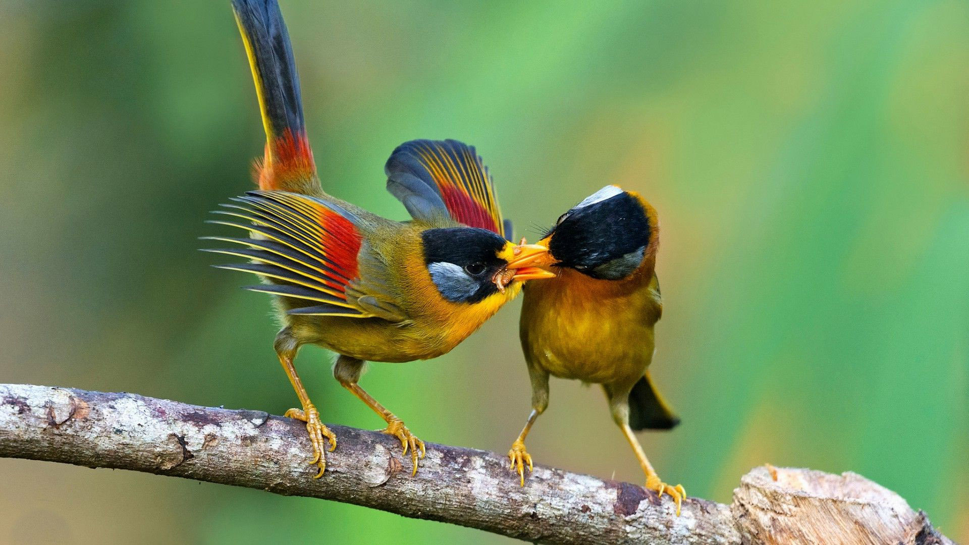Bird Of Paradise Wallpaper Iphone 5 Two Birds Fighting Over A Worm Full Hd Wallpaper And