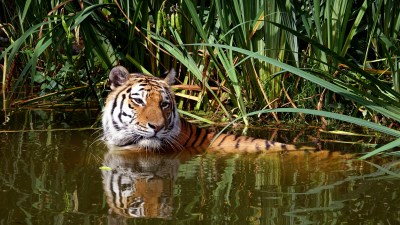 Tiger in the water cooling off 5k Retina Ultra HD Wallpaper | Background Image | 5472x3080 | ID ...