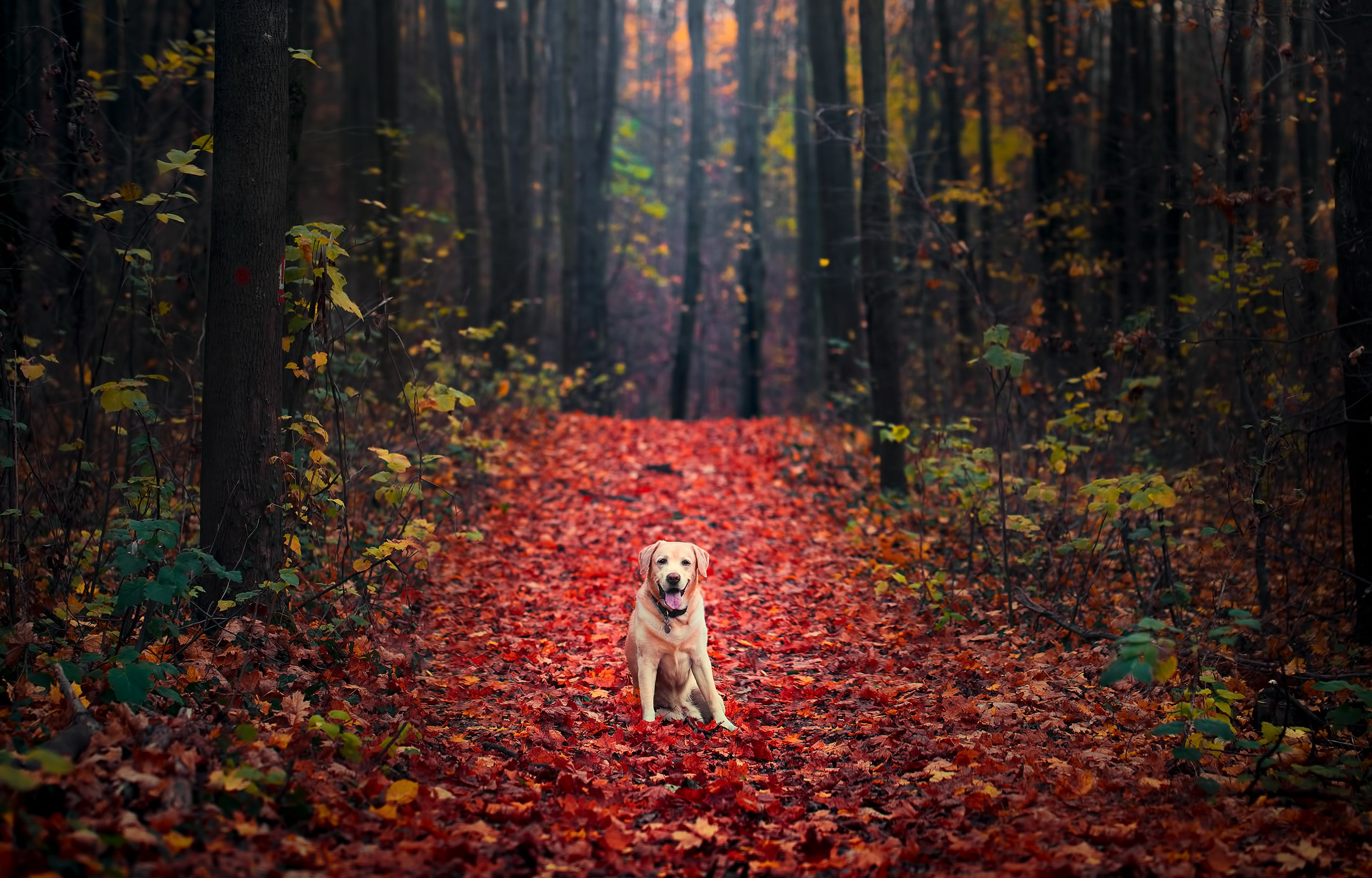 Puppies In Fall Wallpaper Golden Retriever Full Hd Wallpaper And Background Image