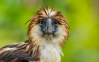 Lion Animal Wallpaper 6 Philippine Eagle Hd Wallpapers Background Images