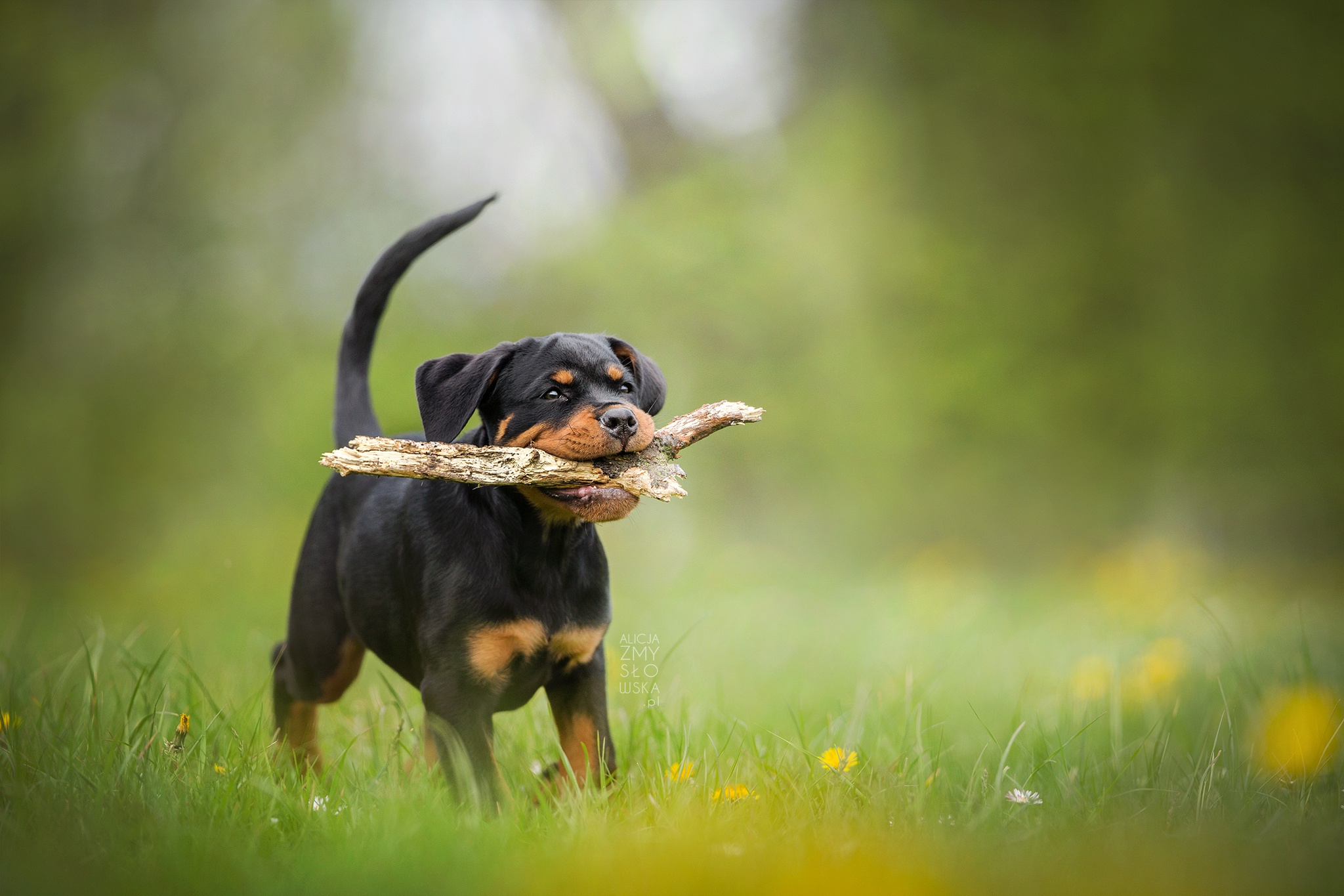 Cute Puppy Wallpapers For Iphone Rottweiler Hd Wallpaper Background Image 2048x1365