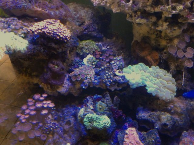 Cinchan's Corals & Inverts Details and Photos   Photo 43306