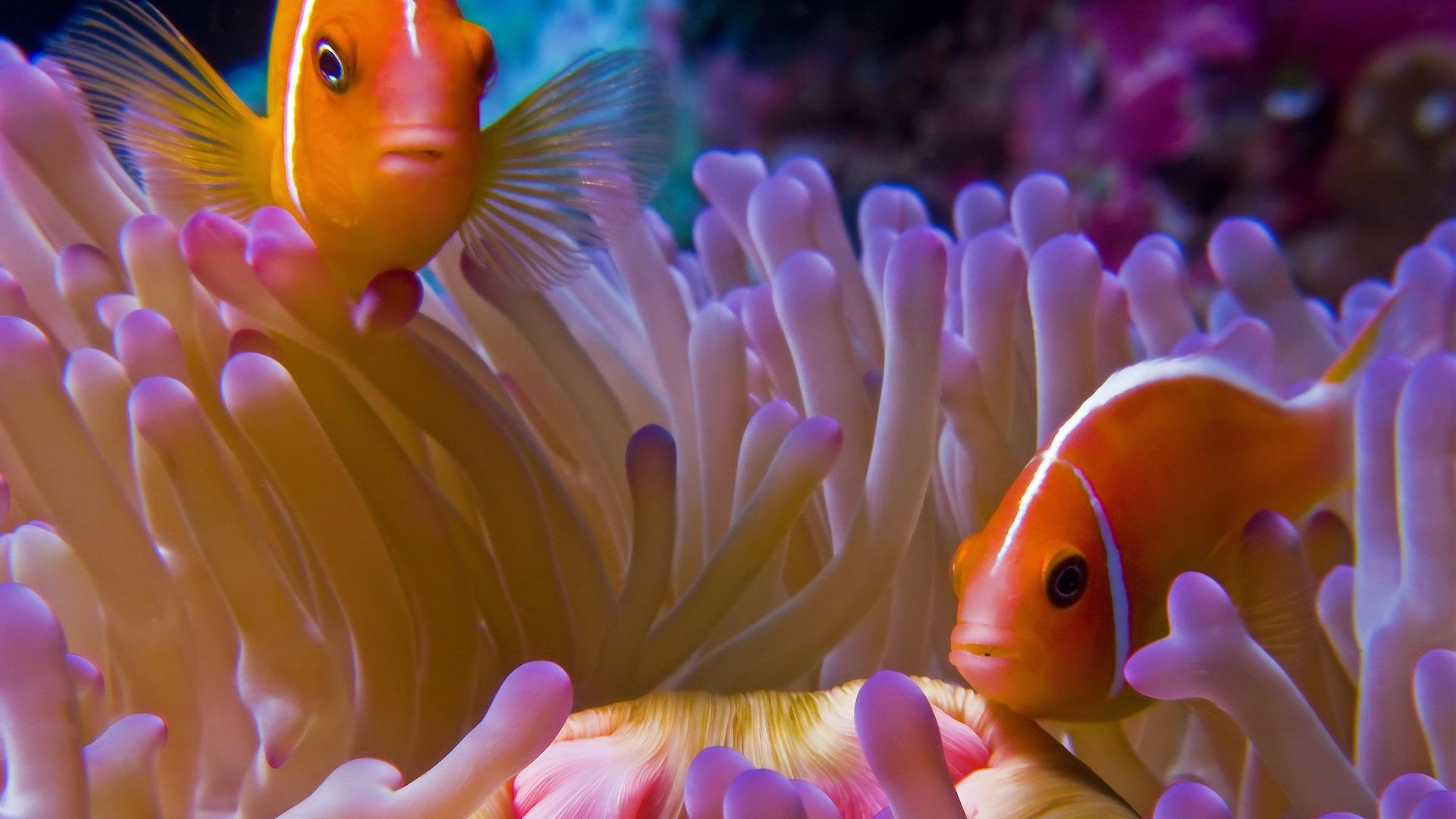 Clown Fish Hd Wallpaper Iphone 4 Poisson Clown Full Hd Fond D 233 Cran And Arri 232 Re Plan