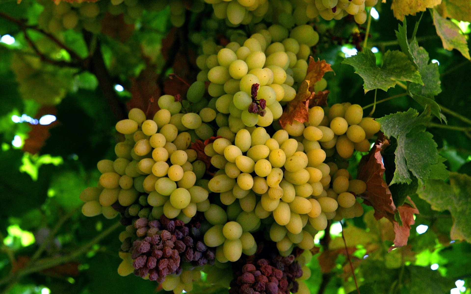 3d Wallpaper Avatar Grapes Full Hd Wallpaper And Background Image 1920x1200