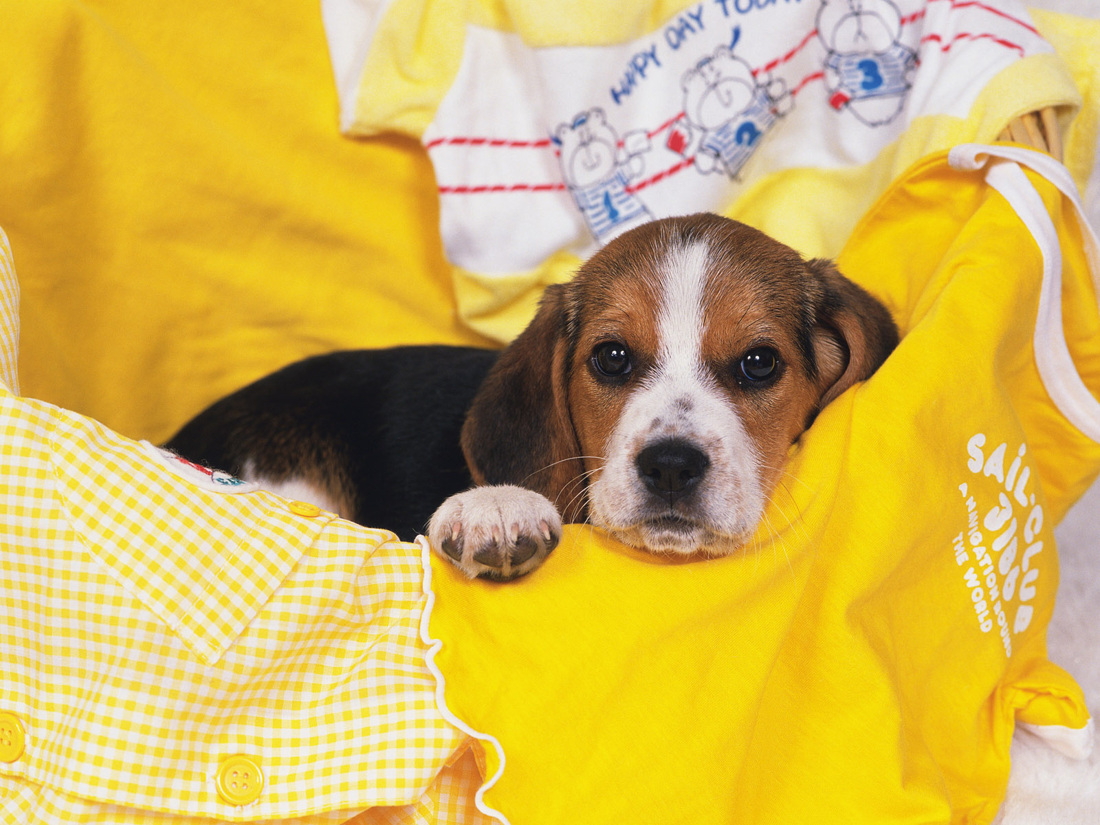 Cute Dog Puppy Background Wallpaper Pictures 95 Beagle Hd Wallpapers Background Images Wallpaper Abyss