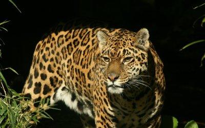 Jaguar Full HD Wallpaper and Background Image | 1920x1200 | ID:245828