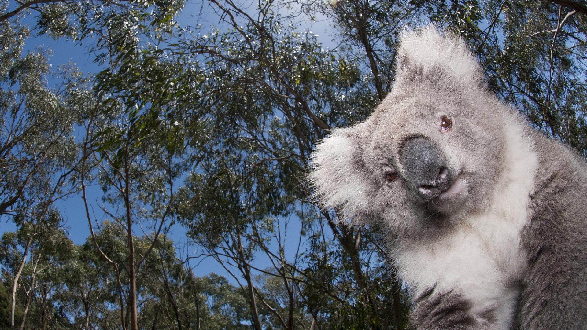 Cute Llama Wallpaper Desktop Koala Full Hd Wallpaper And Background 1920x1080 Id 260406