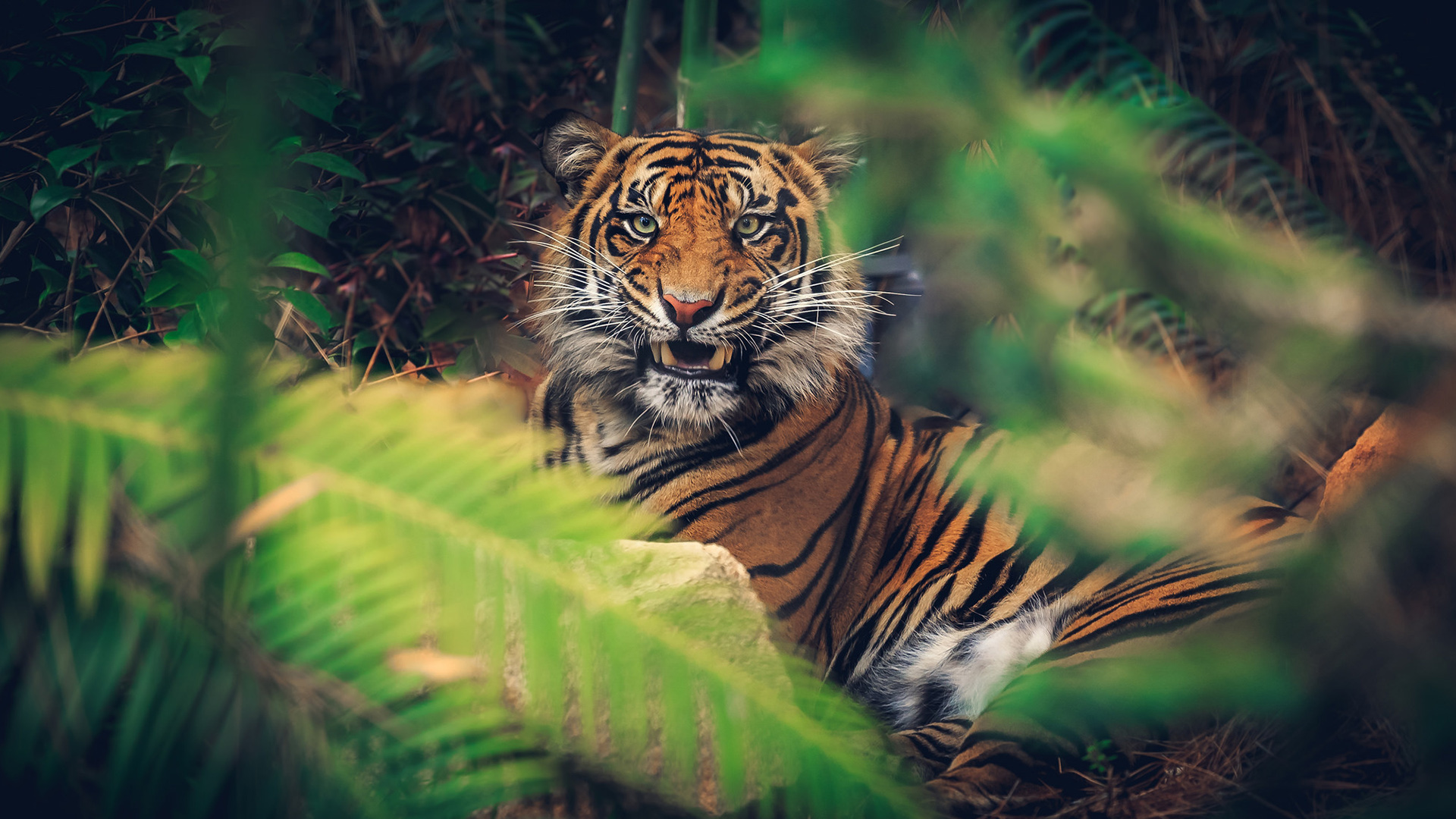 Windows 10 3d Wallpapers Moving Tiger Full Hd Wallpaper And Background 1920x1080 Id 551961