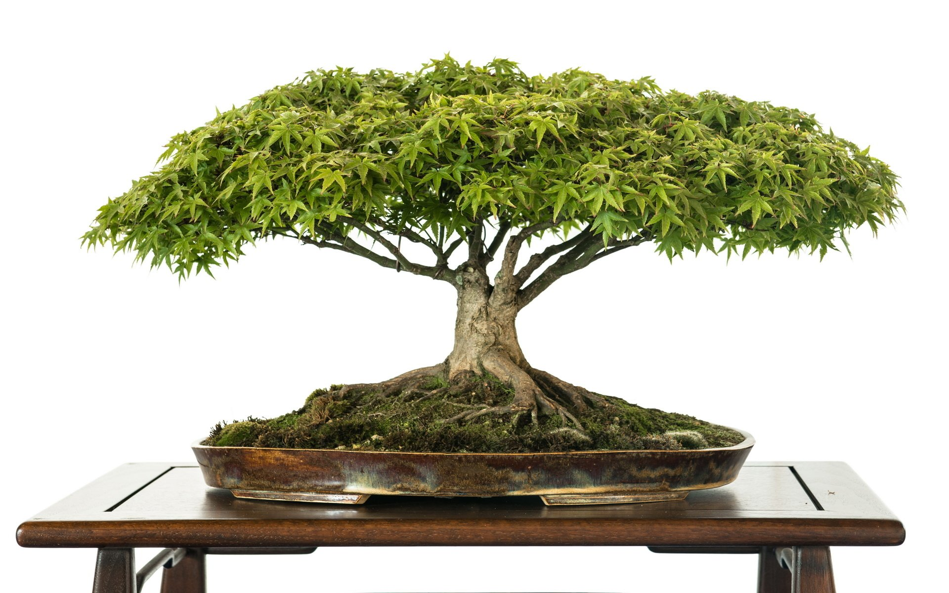 Bonsai Aarde Bonsai Hd Wallpaper Achtergrond 1920x1200 Id 556264