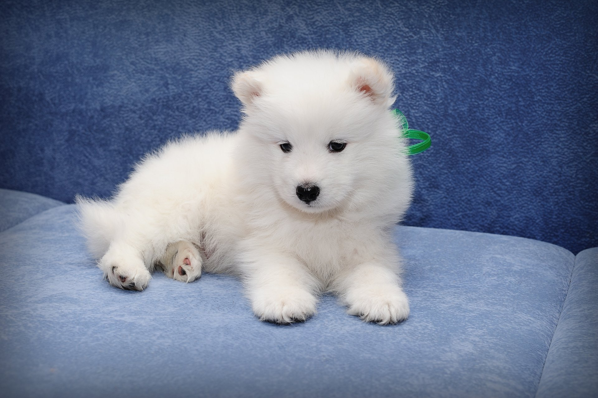 Cute Puppies Wallpapers For Mobile Samoyed 4k Ultra Hd Wallpaper Background Image