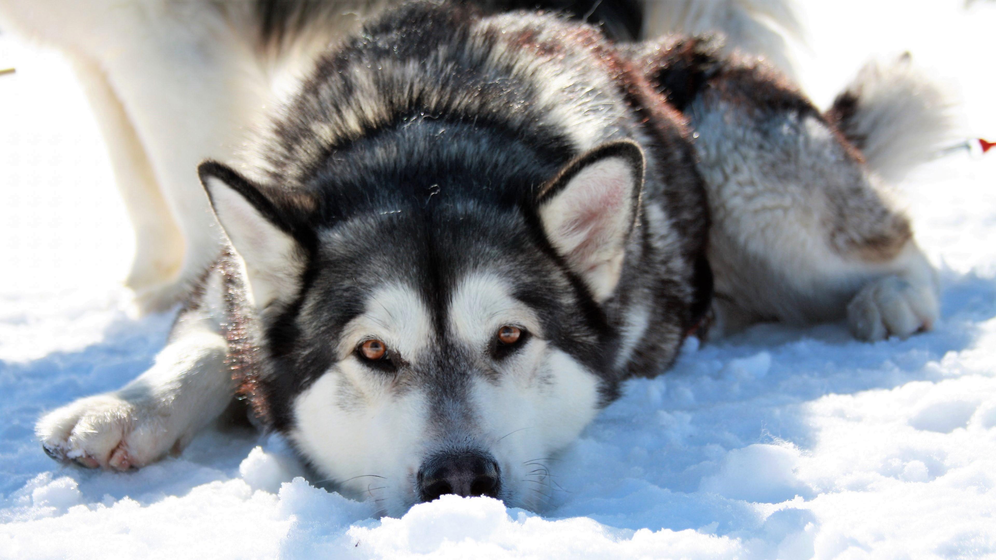 Husky Dog Hd Wallpapers Siberian Husky 4k Ultra Hd Wallpaper Background Image