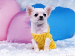 Cute Chihuahua Dogs
