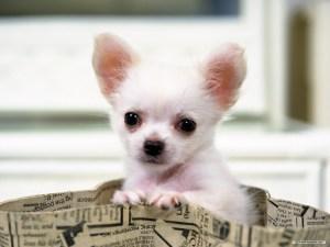 Cute Puppy Chihuahua Dog