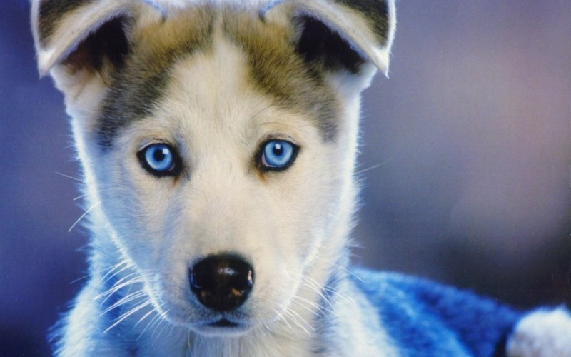 Large Of Dogs With Blue Eyes