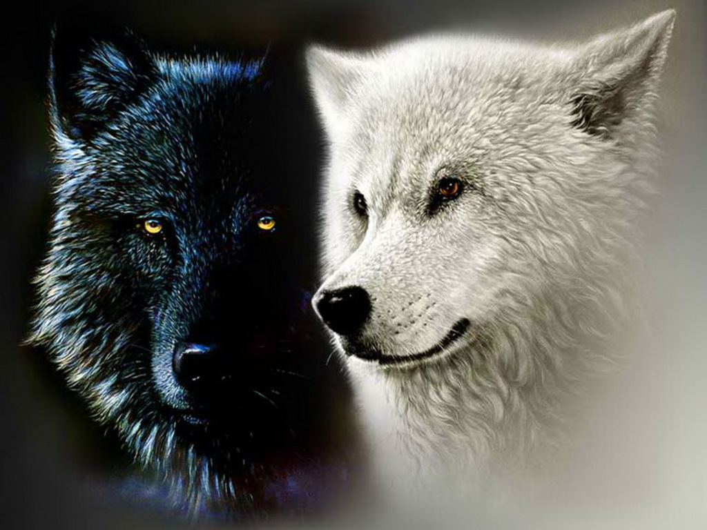 Black Wolf Wallpaper Yorkshire Rose Images Black And White Wolf Hd Wallpaper And