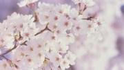 Spring Cherry Blossom Flower