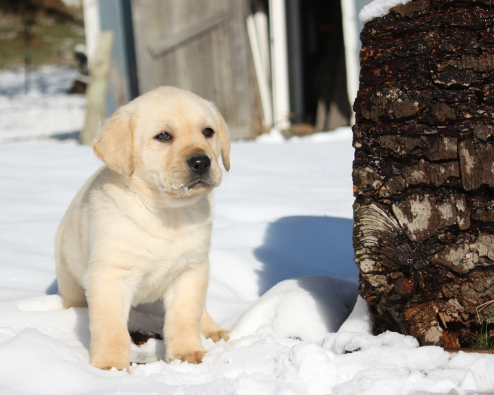 Cute Labrador Puppy Wallpaper Labrador Retreivers Images Lab Pup In Snow Hd Wallpaper