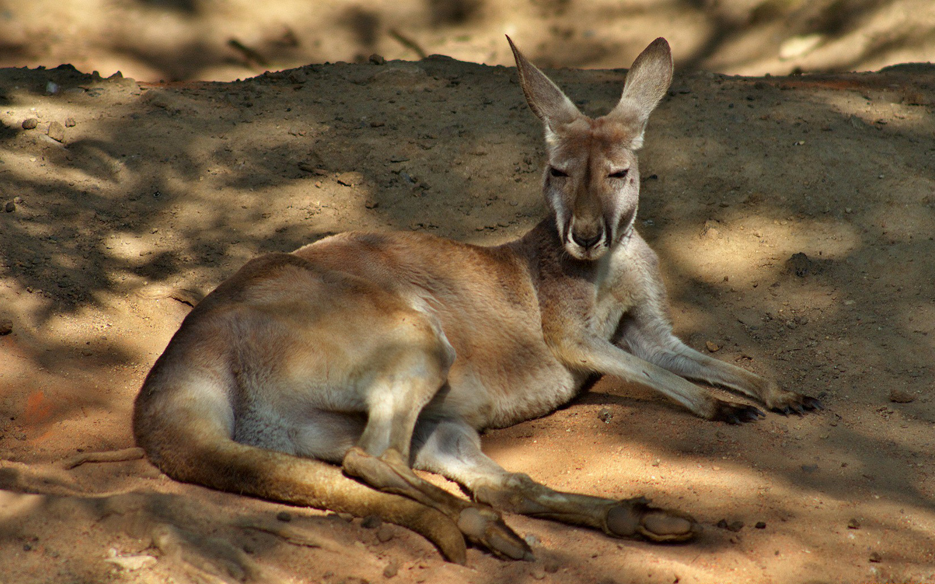 Kangaroo Wallpaper Hd Kangaroo Full Hd Wallpaper And Background Image