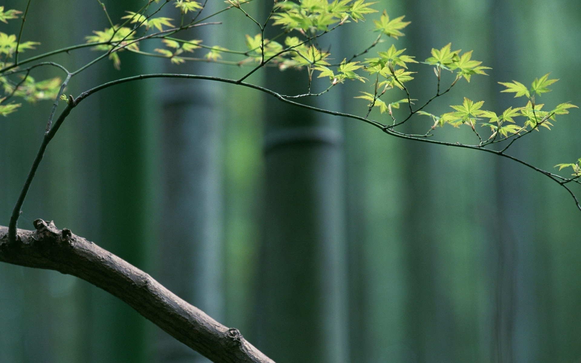Hd Earth Wallpaper Widescreen Bamboo Full Hd Wallpaper And Background Image 1920x1200