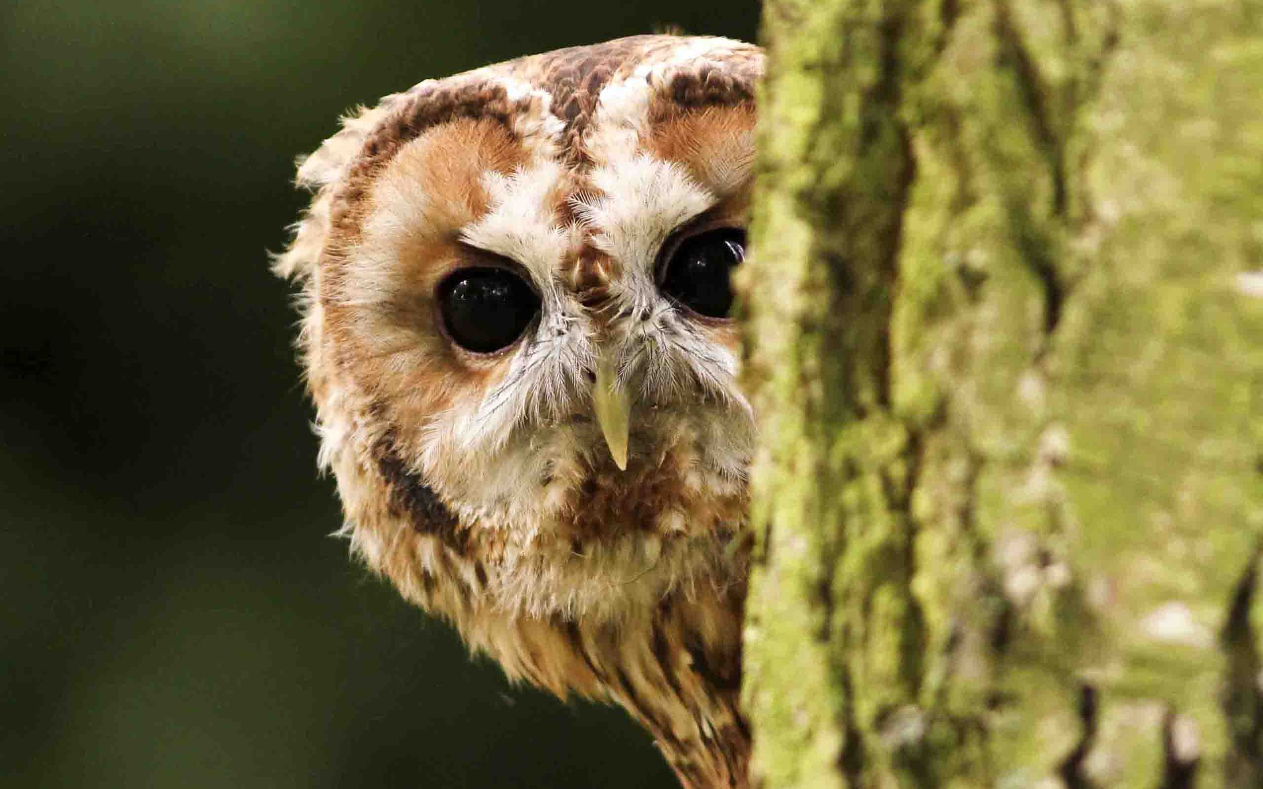 Cute Wallpapers For Facebook Cover Photo Barred Owl Hd Wallpaper Background Image 2560x1600