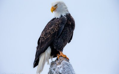 Bald Eagle HD Wallpaper | Background Image | 1920x1200 | ID:341380 - Wallpaper Abyss