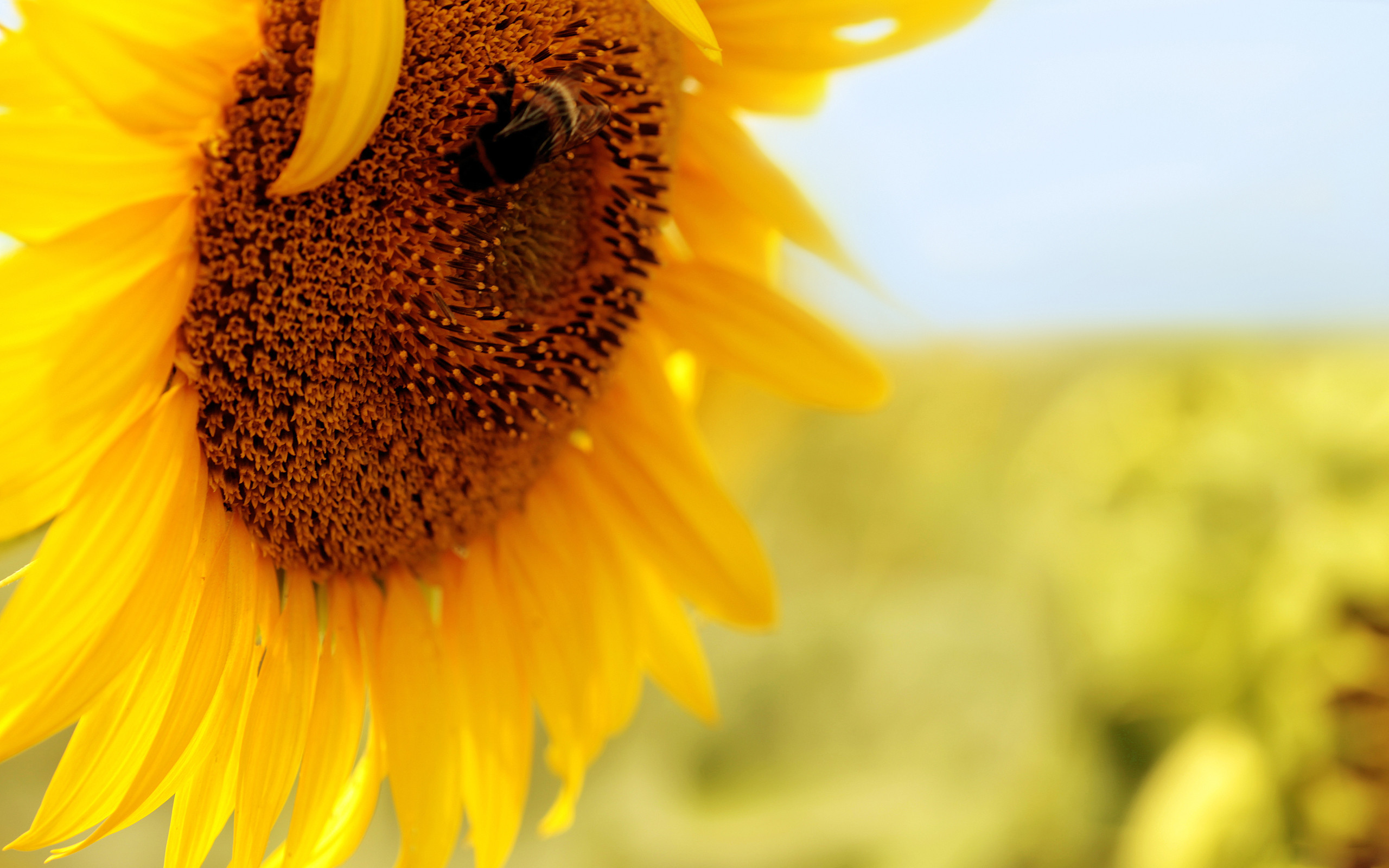 Sunflower Iphone Wallpaper Sunflower Full Hd Wallpaper And Background Image