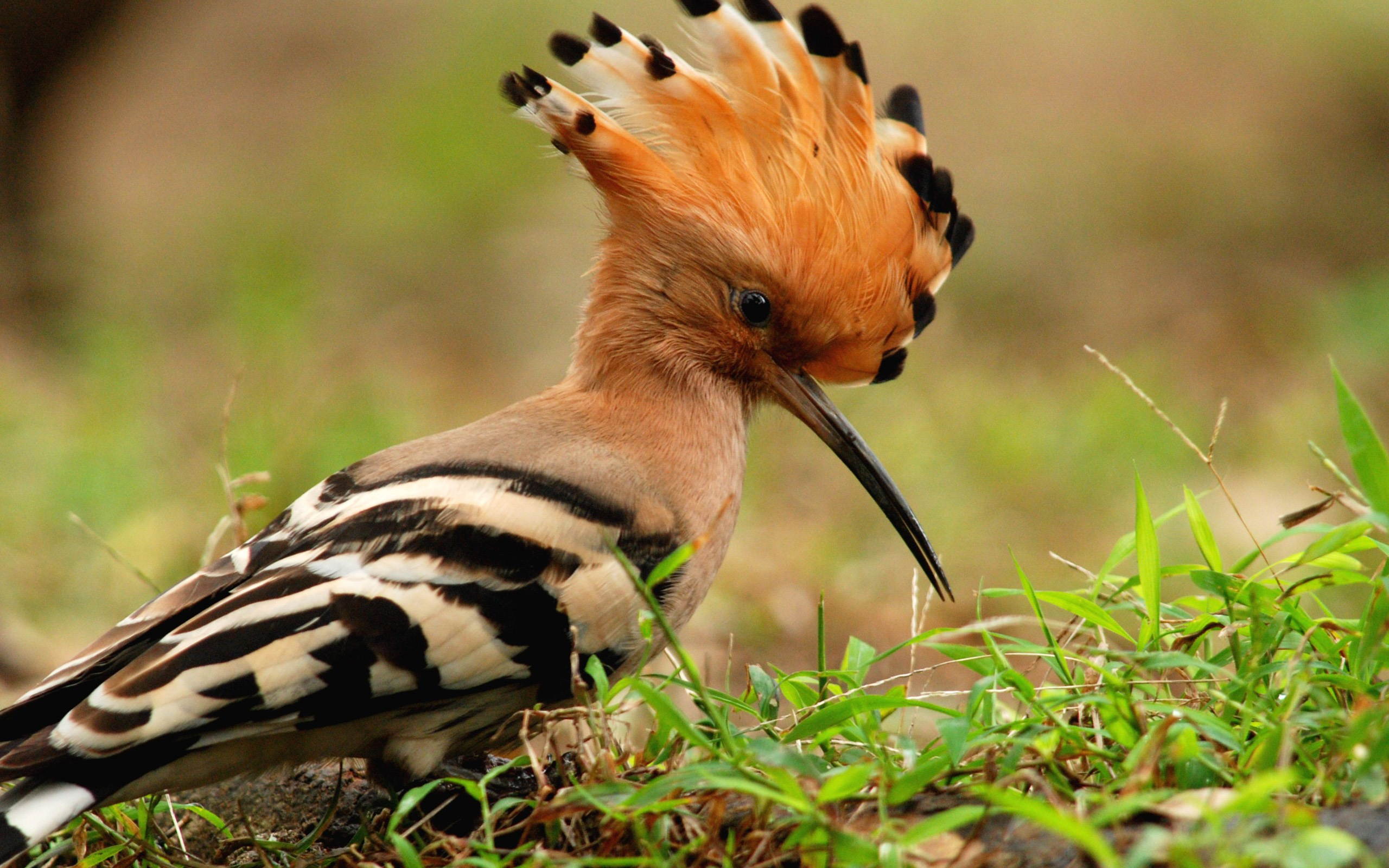 Beautiful Wild Animals Wallpapers Hoopoe Full Hd Wallpaper And Background 2560x1600 Id