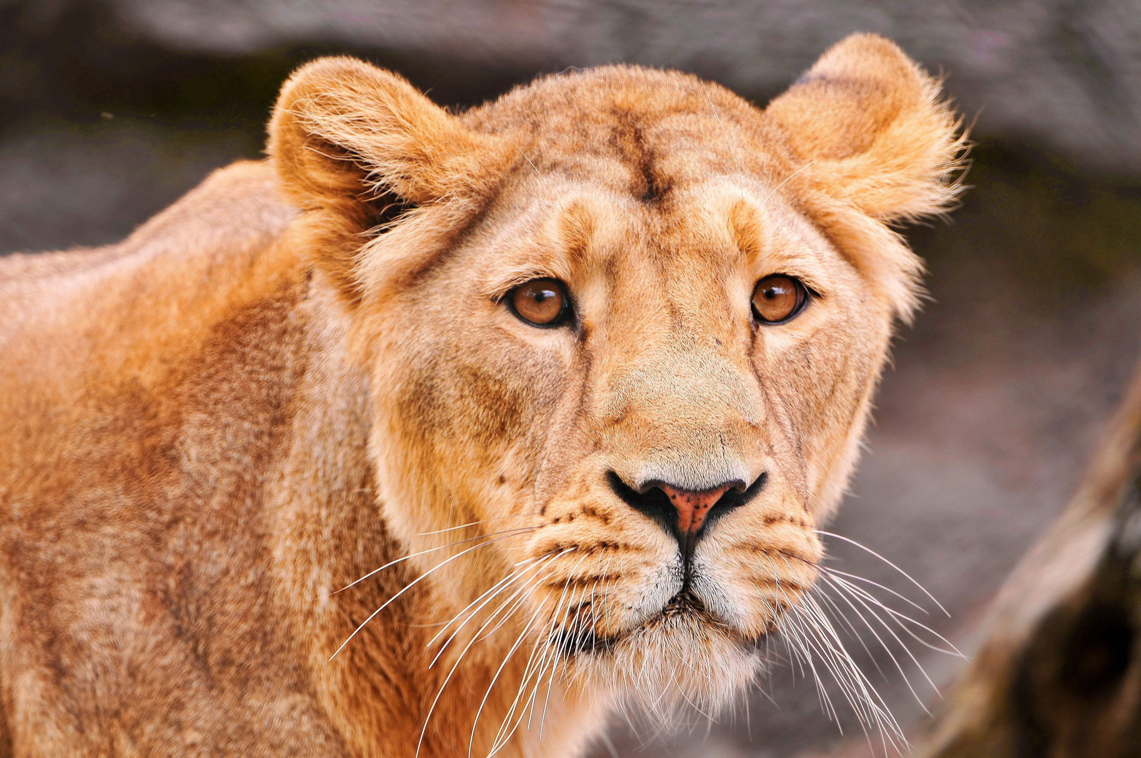 Cool Lion Wallpapers Hd Lion 4k Ultra Hd Wallpaper Background Image 3936x2614