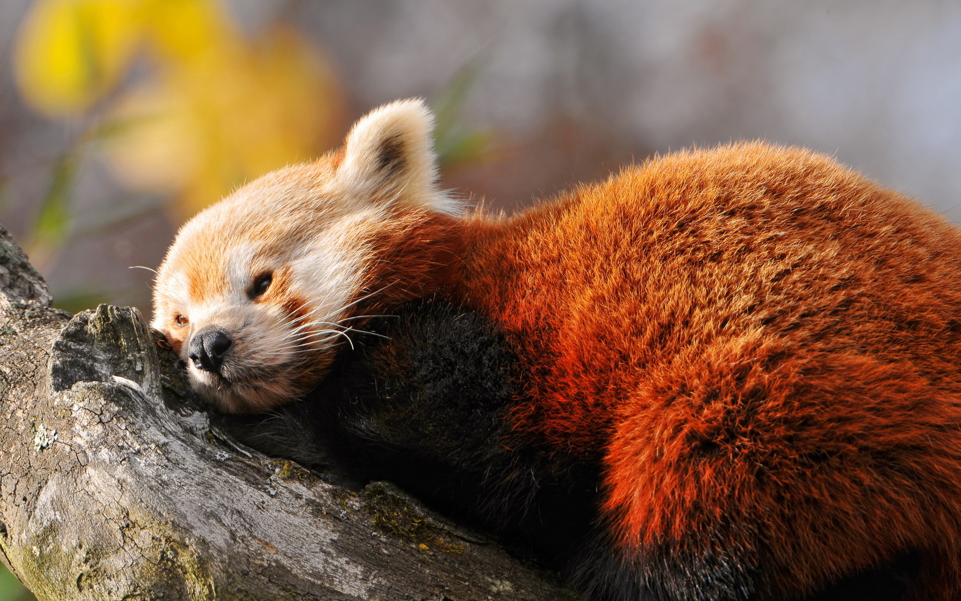 Cute Newborn Baby Hd Wallpapers Red Panda Full Hd Wallpaper And Background 1920x1200