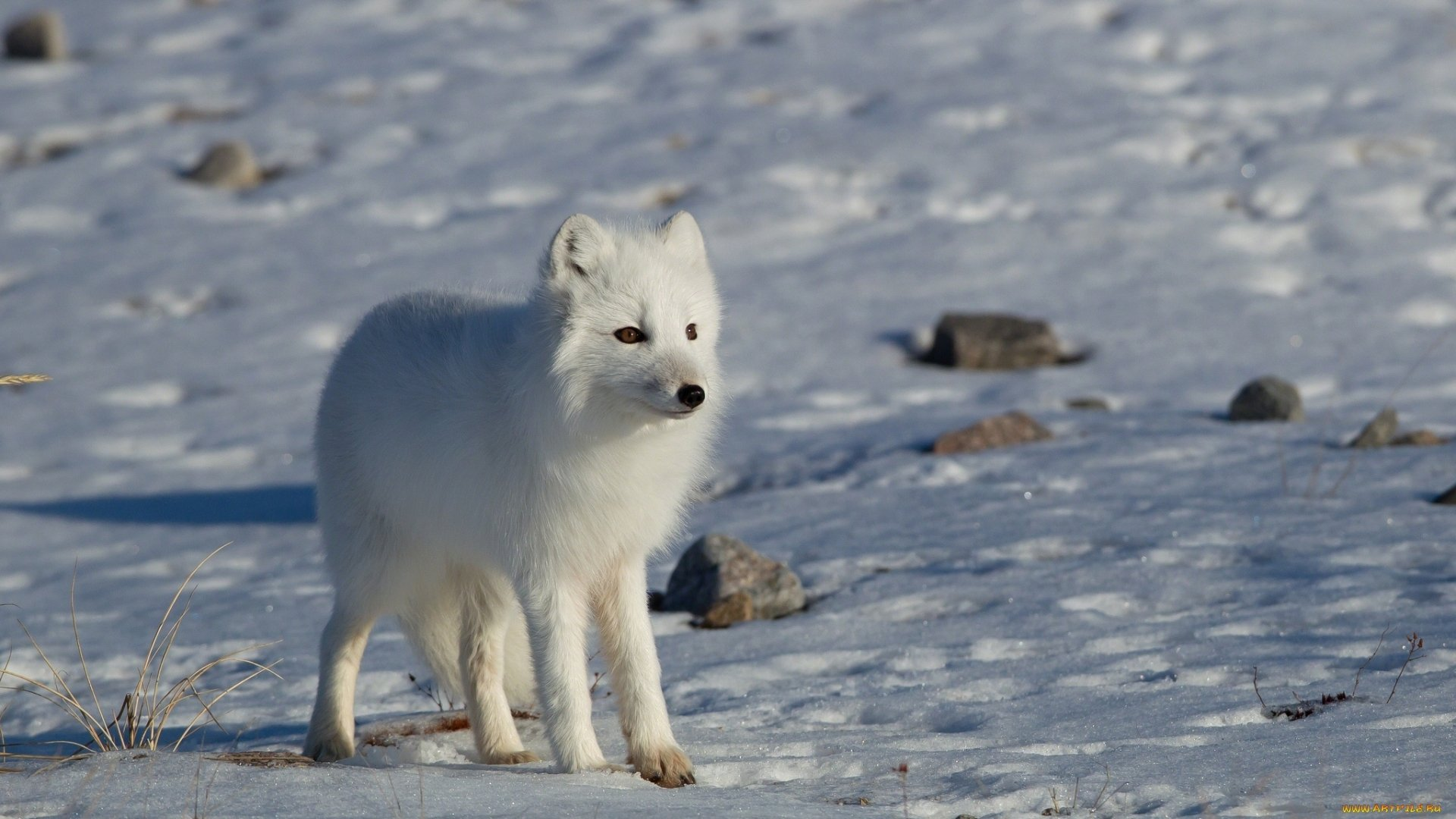 Cute Baby Full Hd Wallpaper Download Arctic Fox Full Hd Wallpaper And Background Image