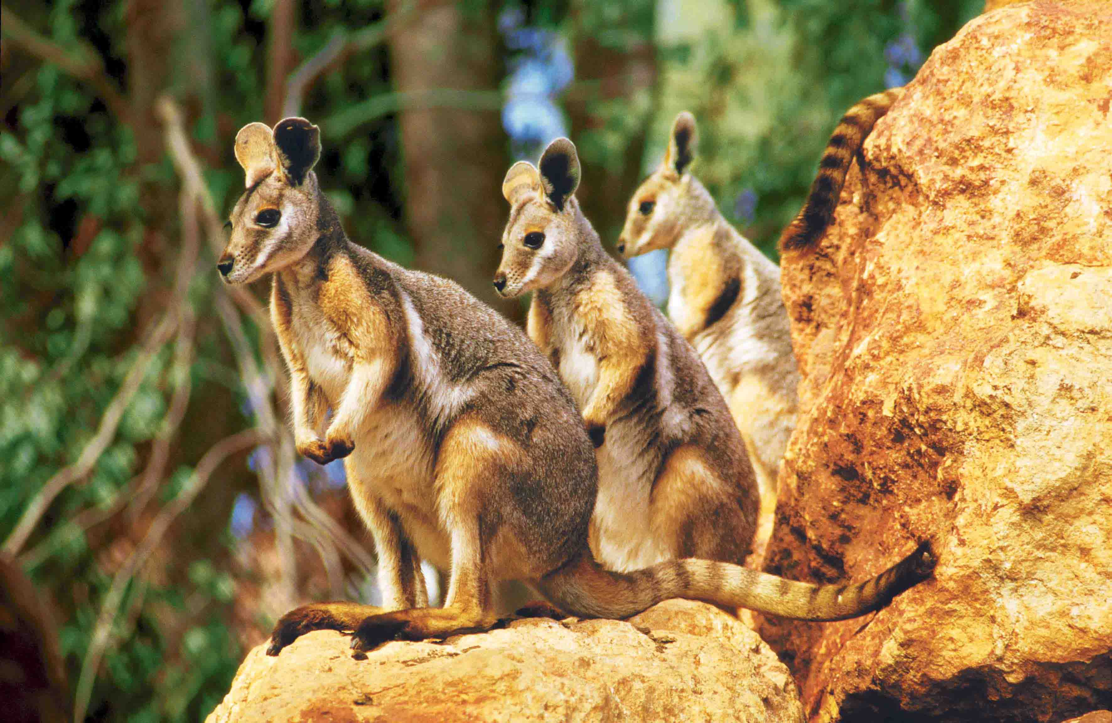 Lion Animal Wallpaper 4 Rock Wallaby Hd Wallpapers Background Images