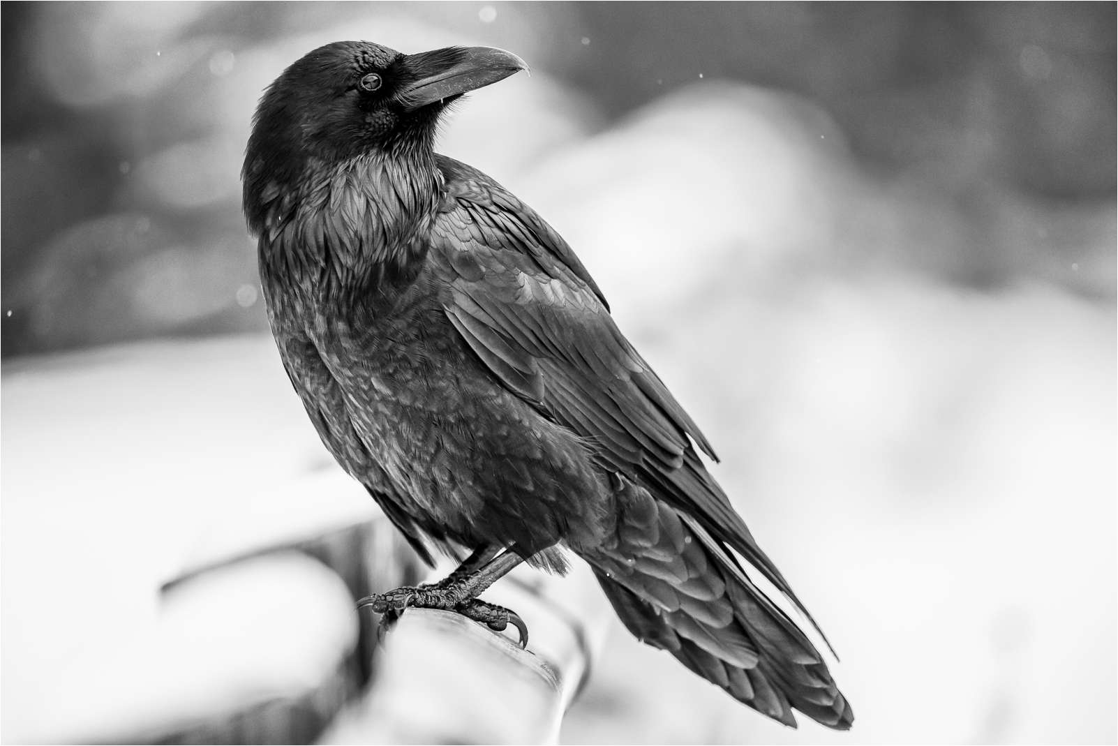 Ravens Wallpaper Iphone 6 Raven Wallpaper And Background 1602x1069 Id 456809