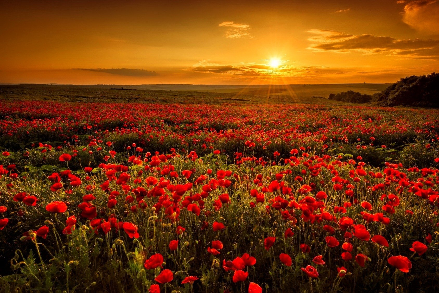 Iphone Wallpaper Pinterest Poppy Field Sunset 壁纸 And 背景 1687x1126 Id 696132