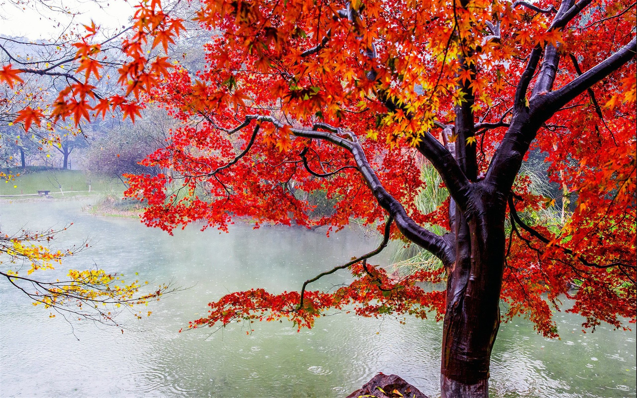 Fall Foliage Wallpaper Widescreen Autumn Tree On A Rainy Day Full Hd Wallpaper And