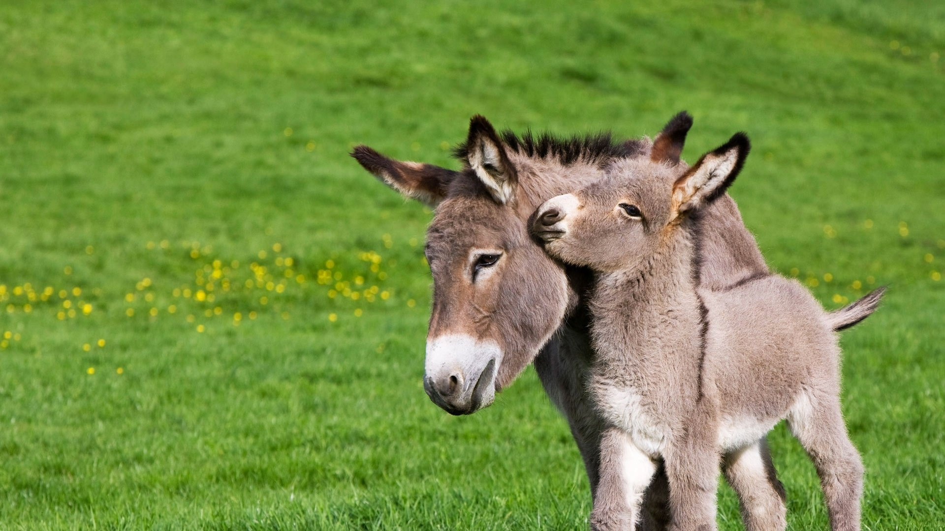 Cute Babies Hd Wallpapers 1366x768 Donkey Hd Wallpaper Background Image 1920x1080 Id