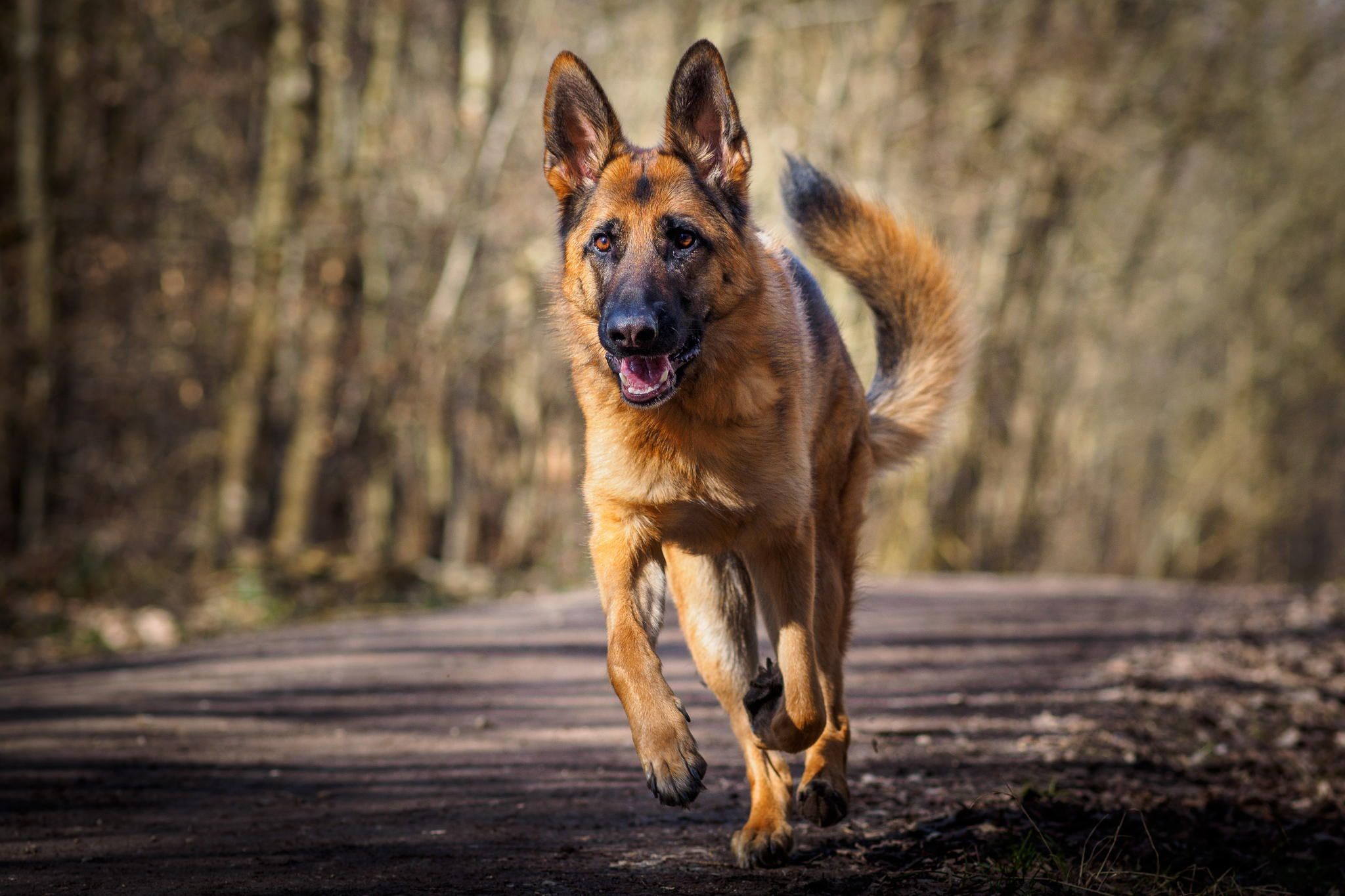 Cute Dogs And Puppies Wallpaper For Mobile German Shepherd Hd Wallpaper Background Image