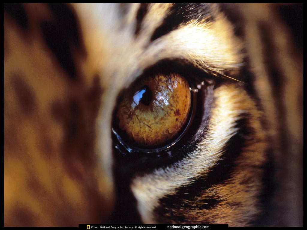 Coloration Oeil De Tigre Amur Tigers Images Tiger Eye Hd Wallpaper And Background