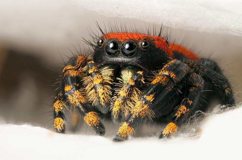 Cute Jumping Spider Wallpaper Cute Looking Spiders