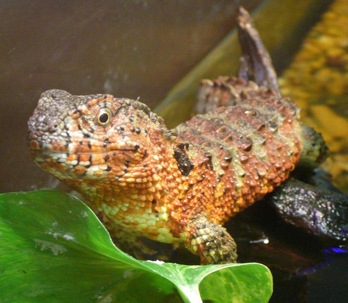 Cute Leopard Gecko Wallpaper Lizards Images Chinese Crocodile Lizard Wallpaper And
