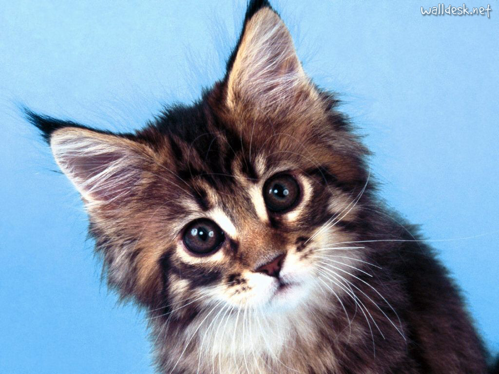 Wallpaper So Freakin Cute Cats Cats Images Maincoon Kitty Hd Wallpaper And Background