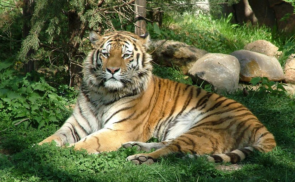 Cute New York Desktop Wallpaper Tiger Tigers Photo 30651449 Fanpop