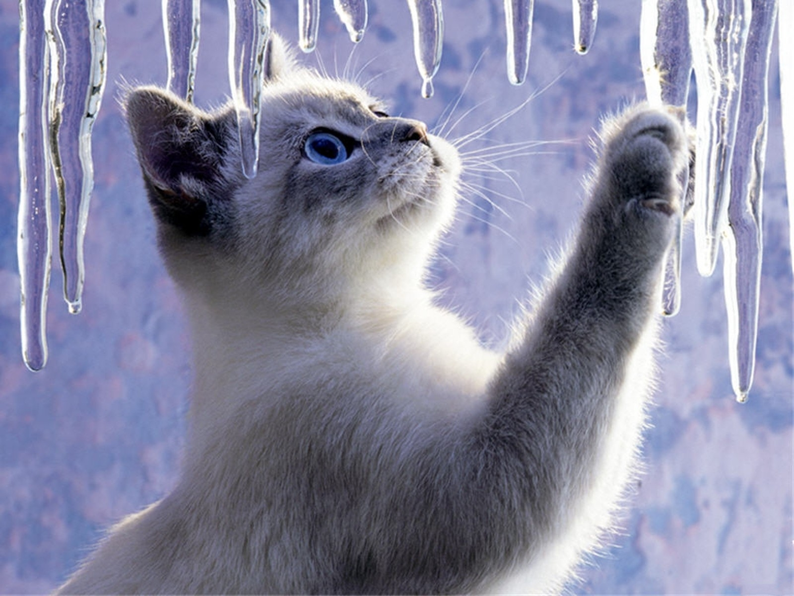 Wallpaper So Freakin Cute Cats Cats Images Ice Cat Hd Wallpaper And Background Photos