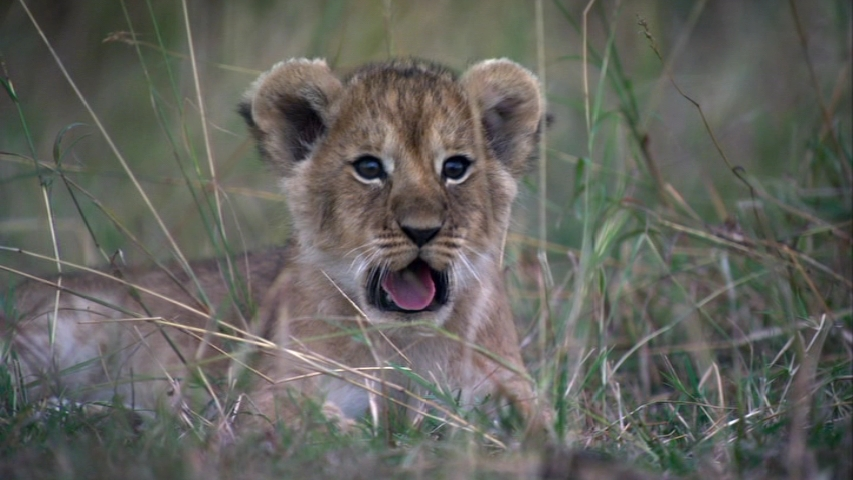 Cheetah Wallpaper Hd African Cats Images Lion Cub Hd Wallpaper And Background