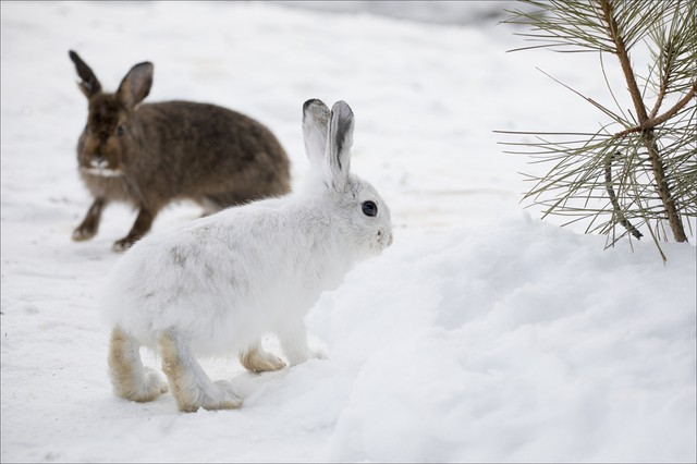 With Less Snow, Can Snowshoe Hares Adapt Quick Enough To Avoid