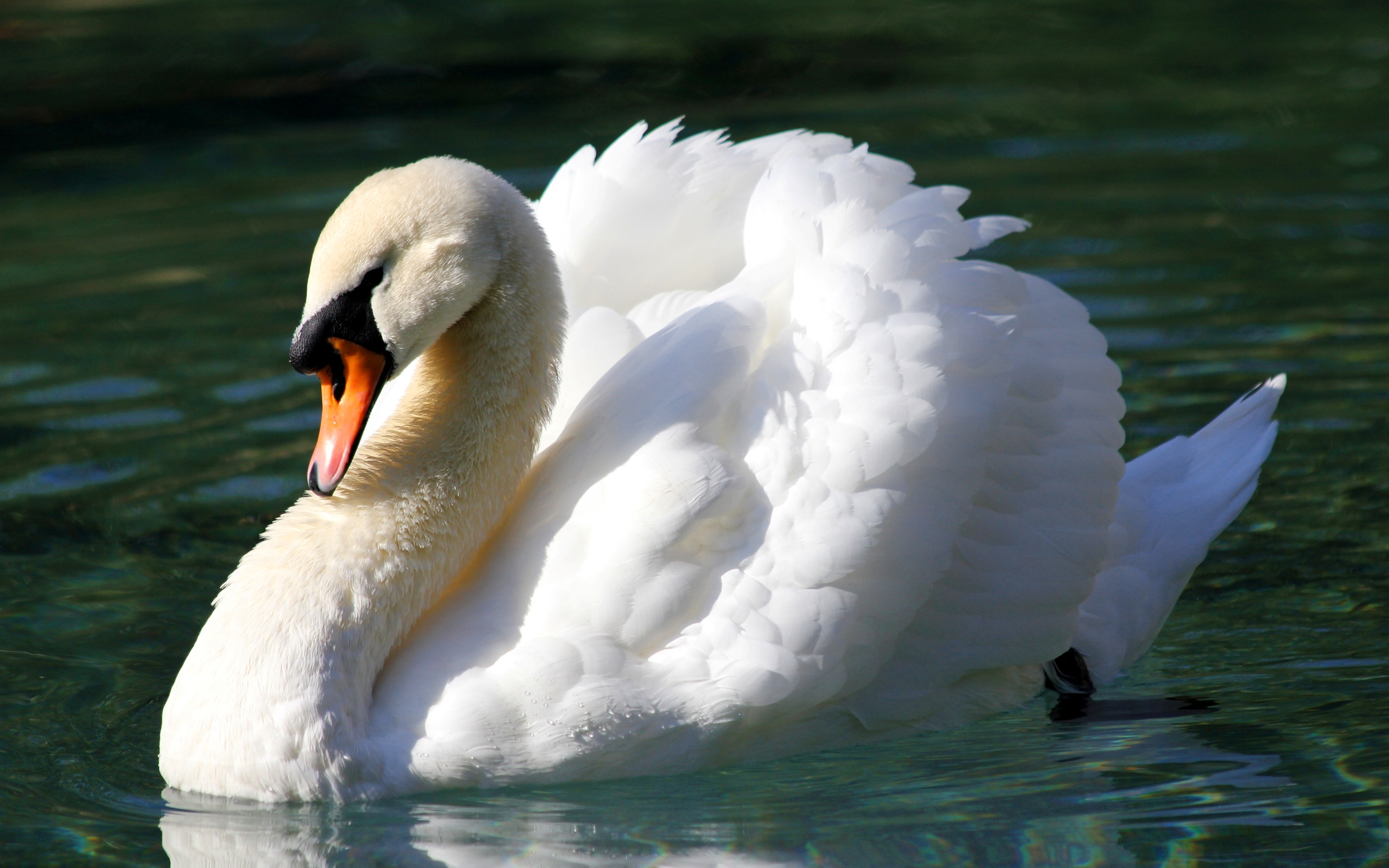 Cute Animal Iphone Wallpaper Mute Swan Full Hd Wallpaper And Background Image