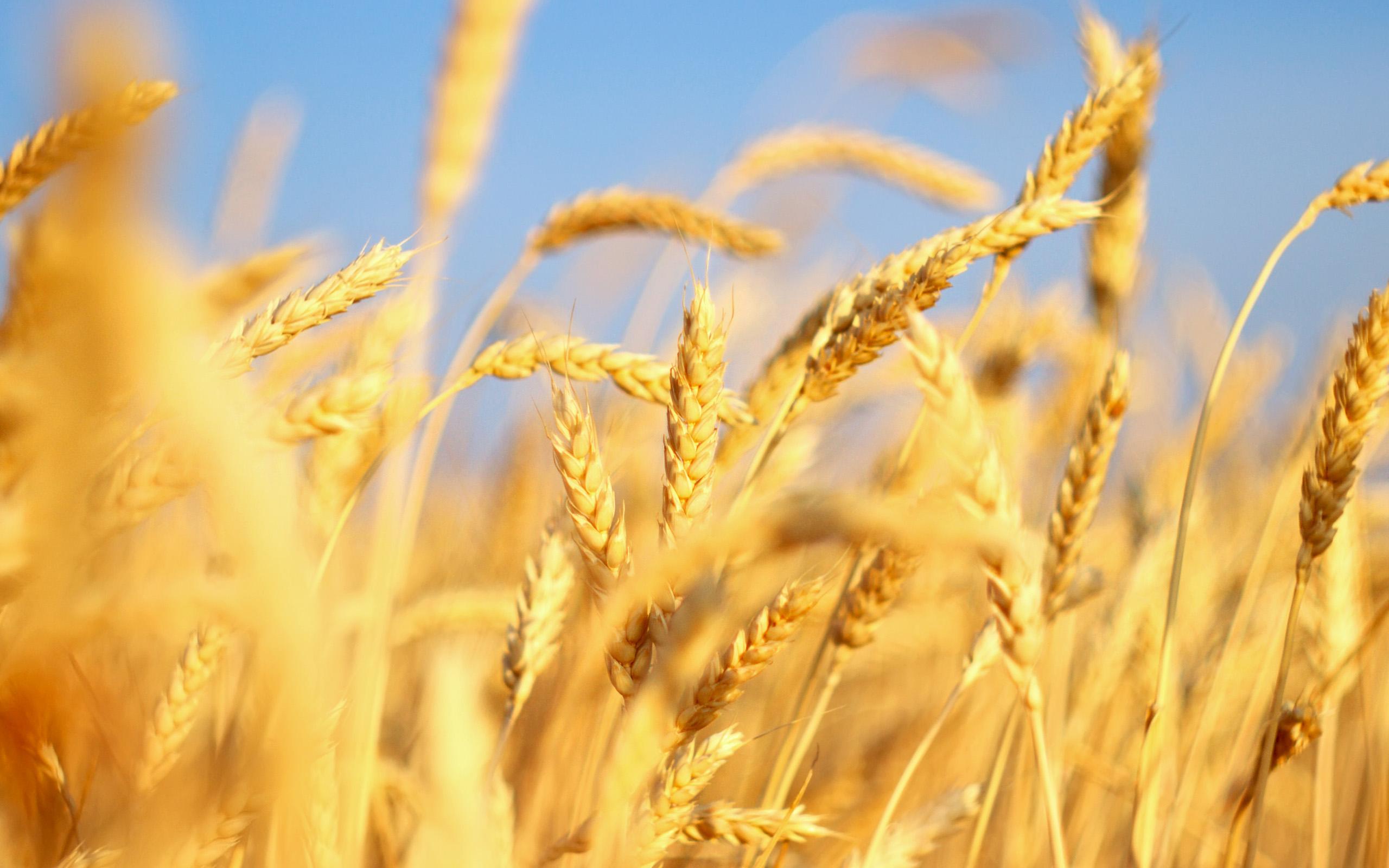 Fall Harvest Desktop Wallpaper Weizen Full Hd Wallpaper And Hintergrund 2560x1600 Id
