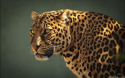 Jaguar HD Wallpaper | Hintergrund | 1920x1200 | ID:327019 - Wallpaper Abyss