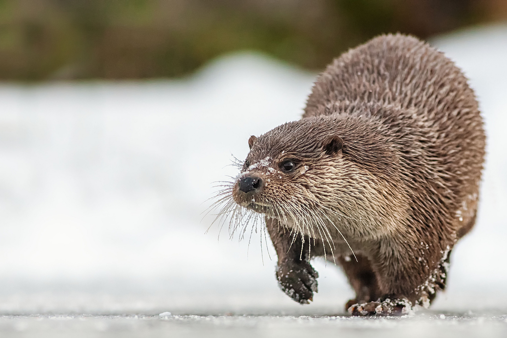 Cute Otter Wallpaper Otter Full Hd Wallpaper And Background Image 2048x1366