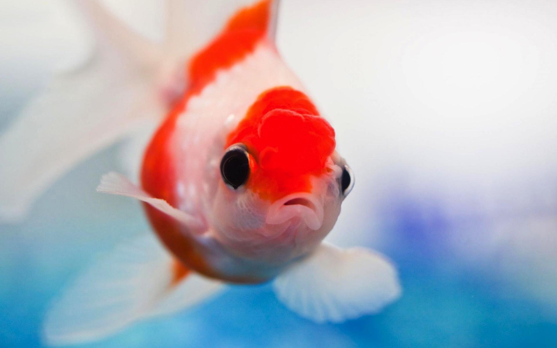 Pug Iphone Wallpaper Lionhead Goldfish Full Hd Wallpaper And Background Image