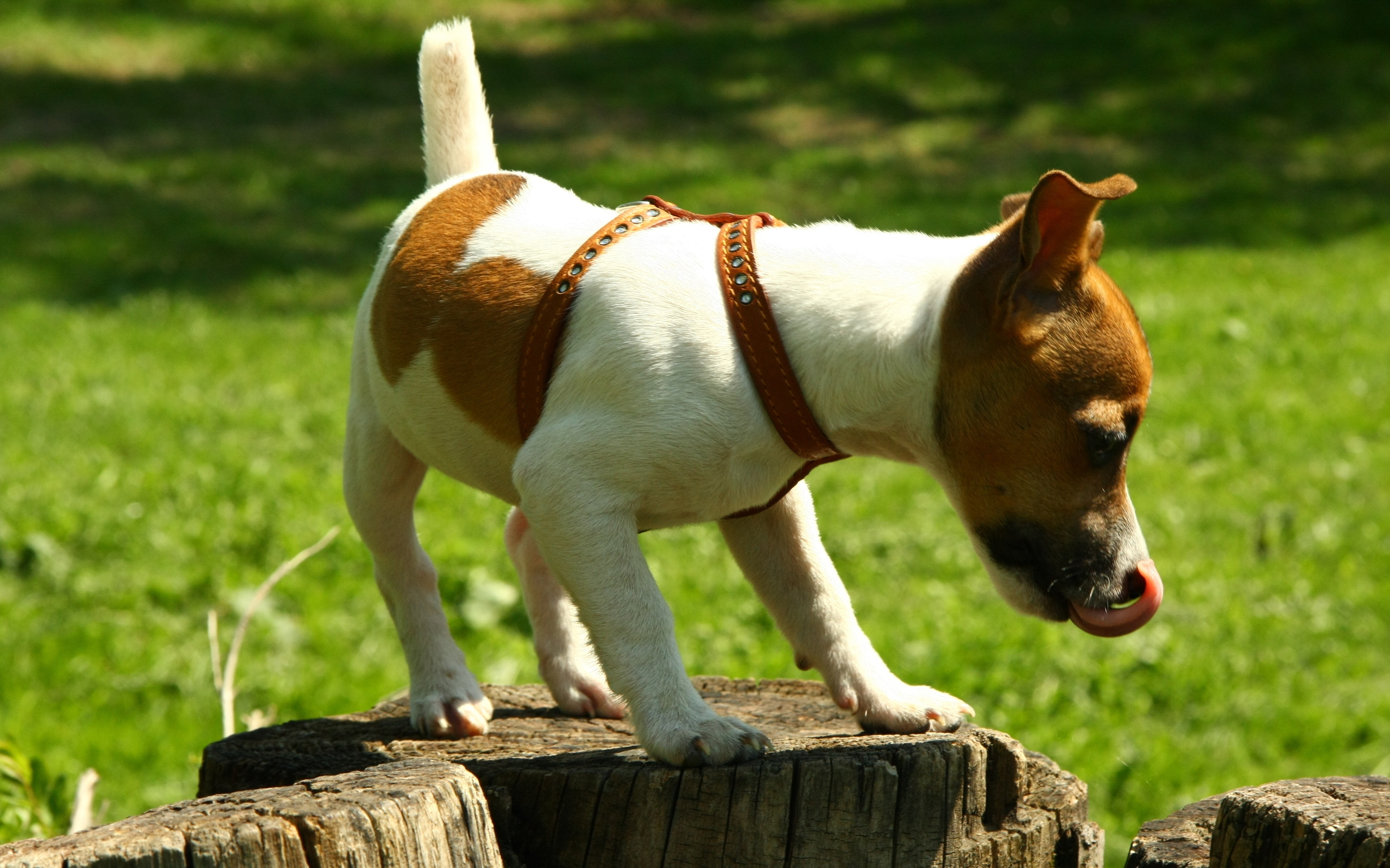 Funny Dog Iphone Wallpaper Jack Russell Terrier Full Hd Tapeta And Tło 2560x1600